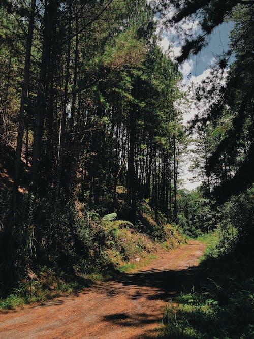 Foto stok gratis alam, hijau, hutan, jalan tanah
