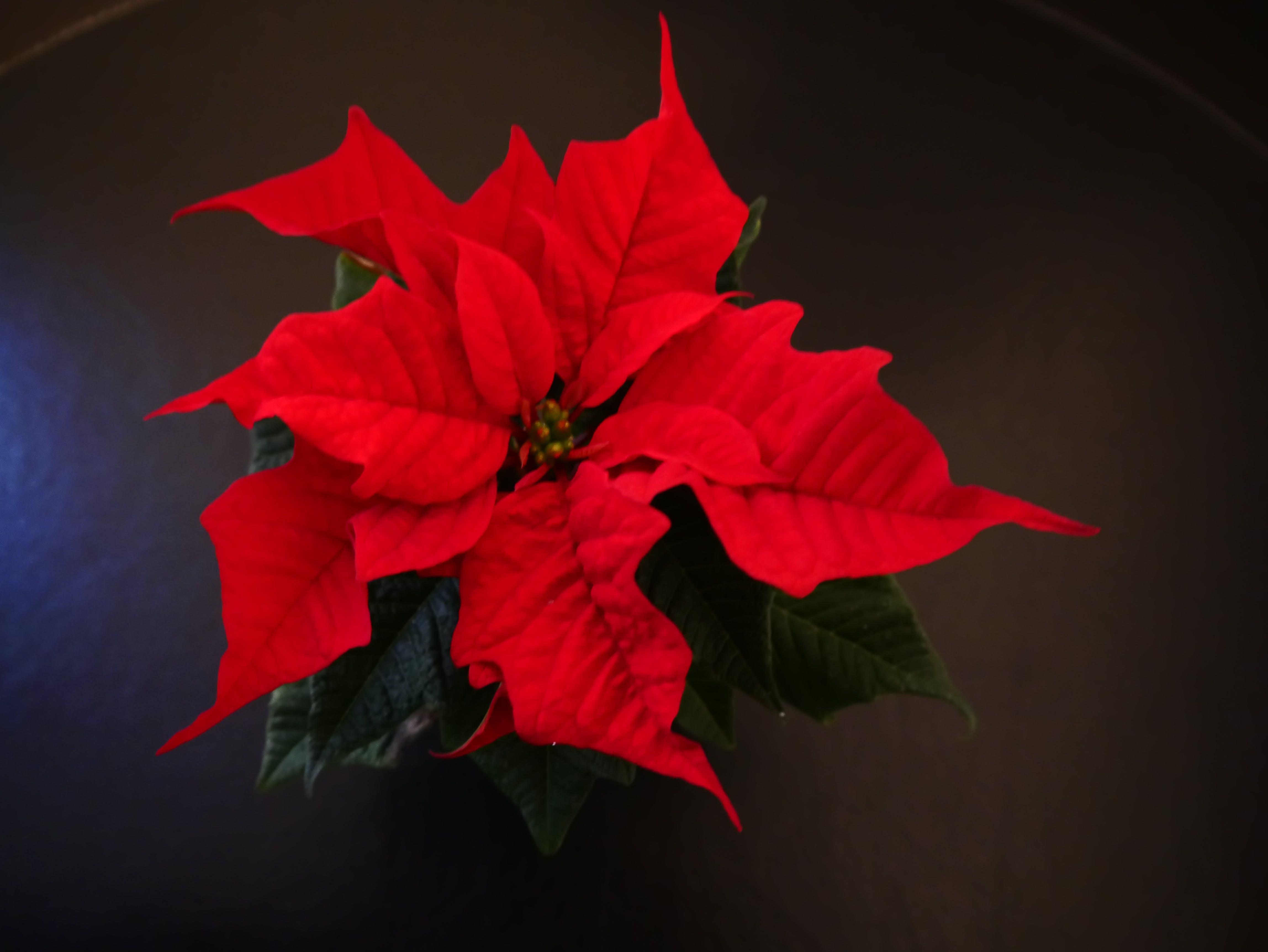 Kostenloses Stock Foto zu weihnachten, weihnachtsstern