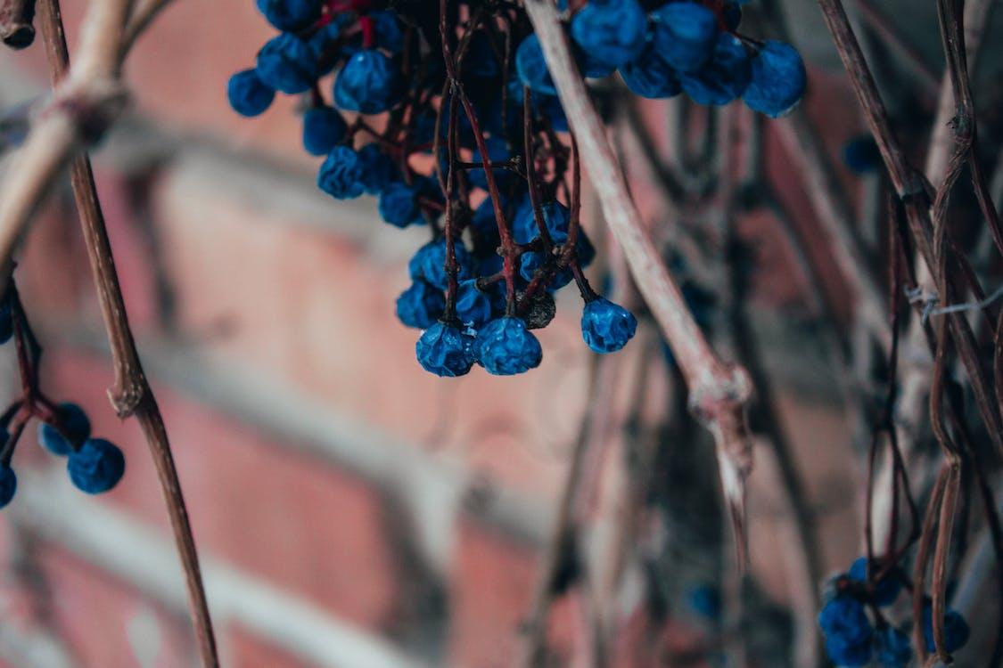 fioletowe winogrona, napa valley, owoce
