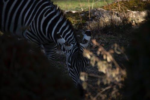 Foto profissional grátis de entardecer, foco seletivo, jardim zoológico, observar