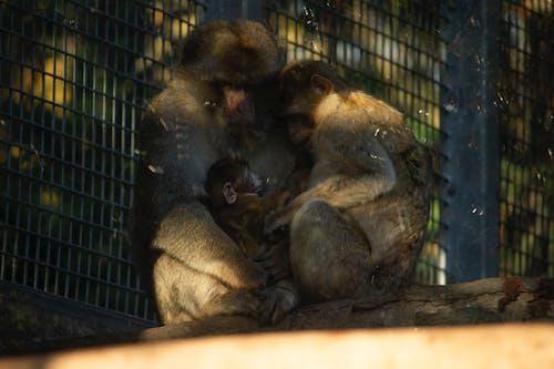 Foto profissional grátis de família, família de macacos, jardim zoológico, macaco