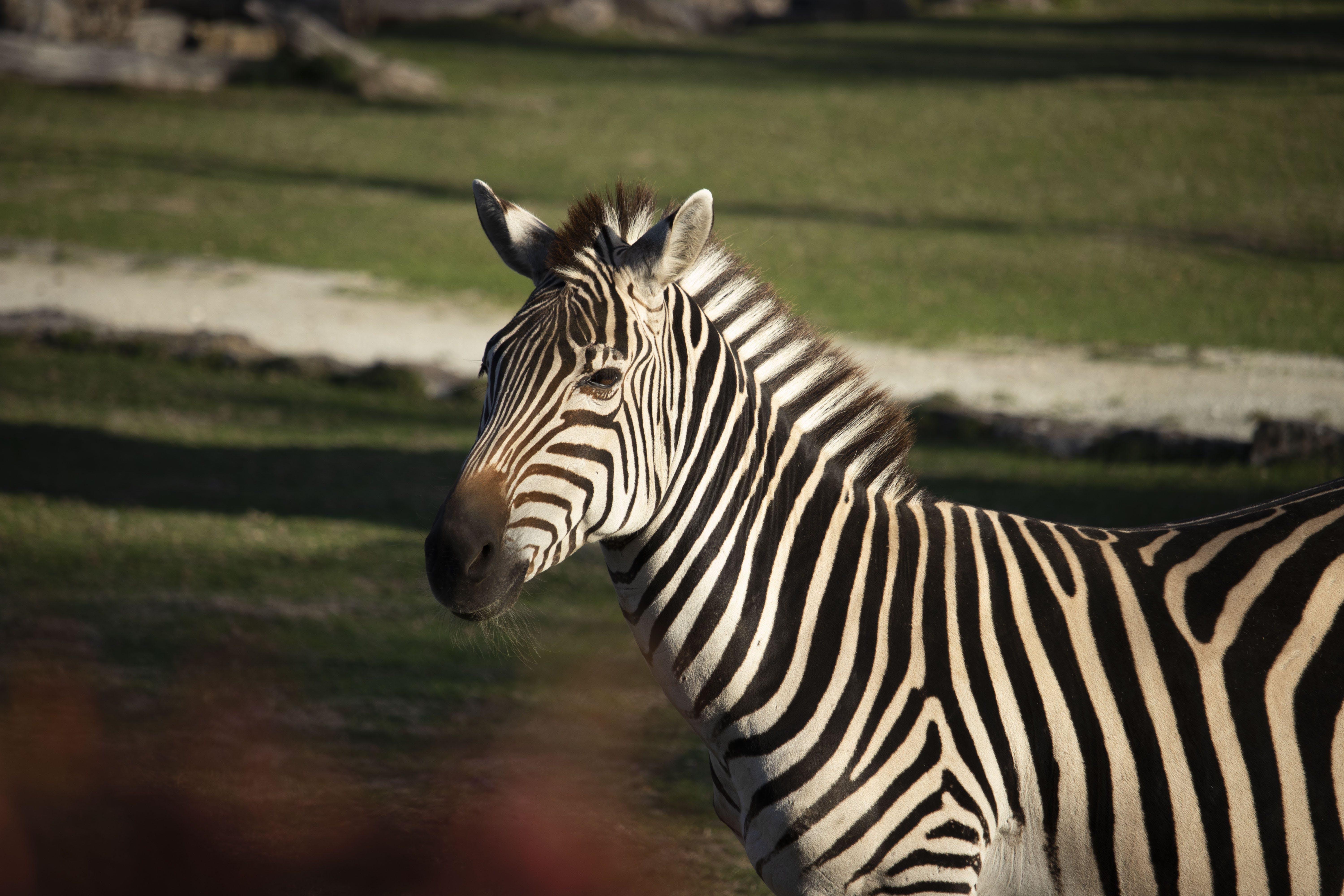 Free stock photo of evening sun, selective focus, zebra, zoo