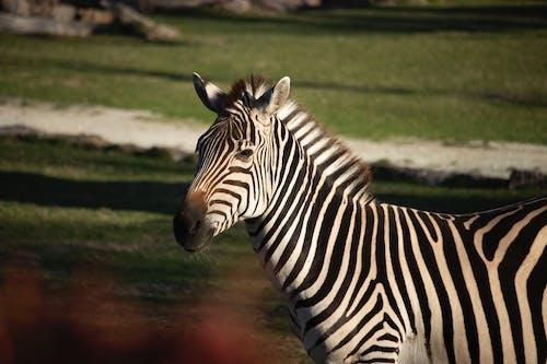 Foto profissional grátis de entardecer, foco seletivo, jardim zoológico, zebra