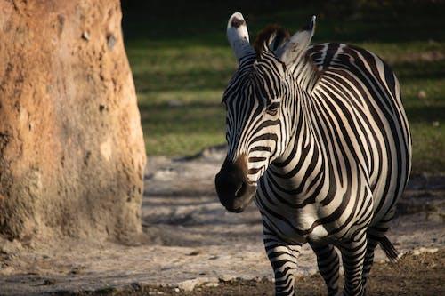 Foto profissional grátis de entardecer, jardim zoológico, zebra