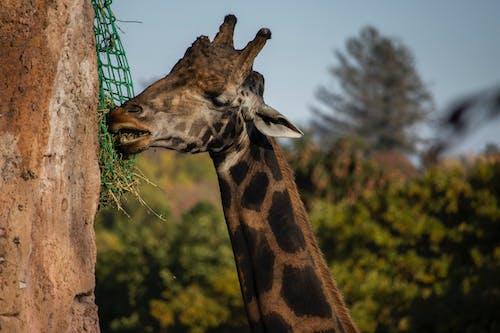 Foto profissional grátis de alimentação, árvore, girafa, jardim zoológico