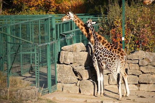 Foto profissional grátis de entardecer, girafas, jardim zoológico