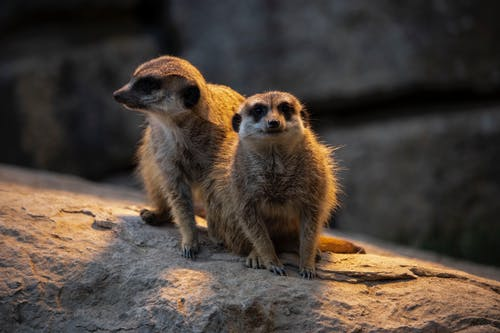 Foto profissional grátis de jardim zoológico, leve, luz dramática, suricato
