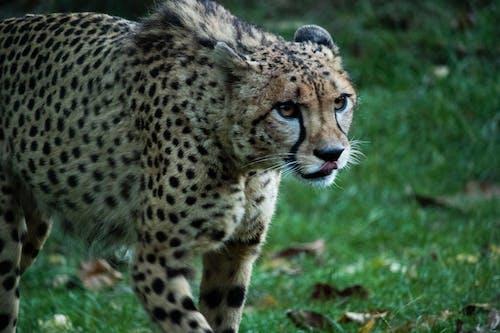 Foto profissional grátis de animal, caçando, guepardo, jardim zoológico