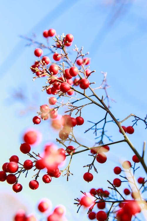 Foto stok gratis alam, berbayang, beri, buah