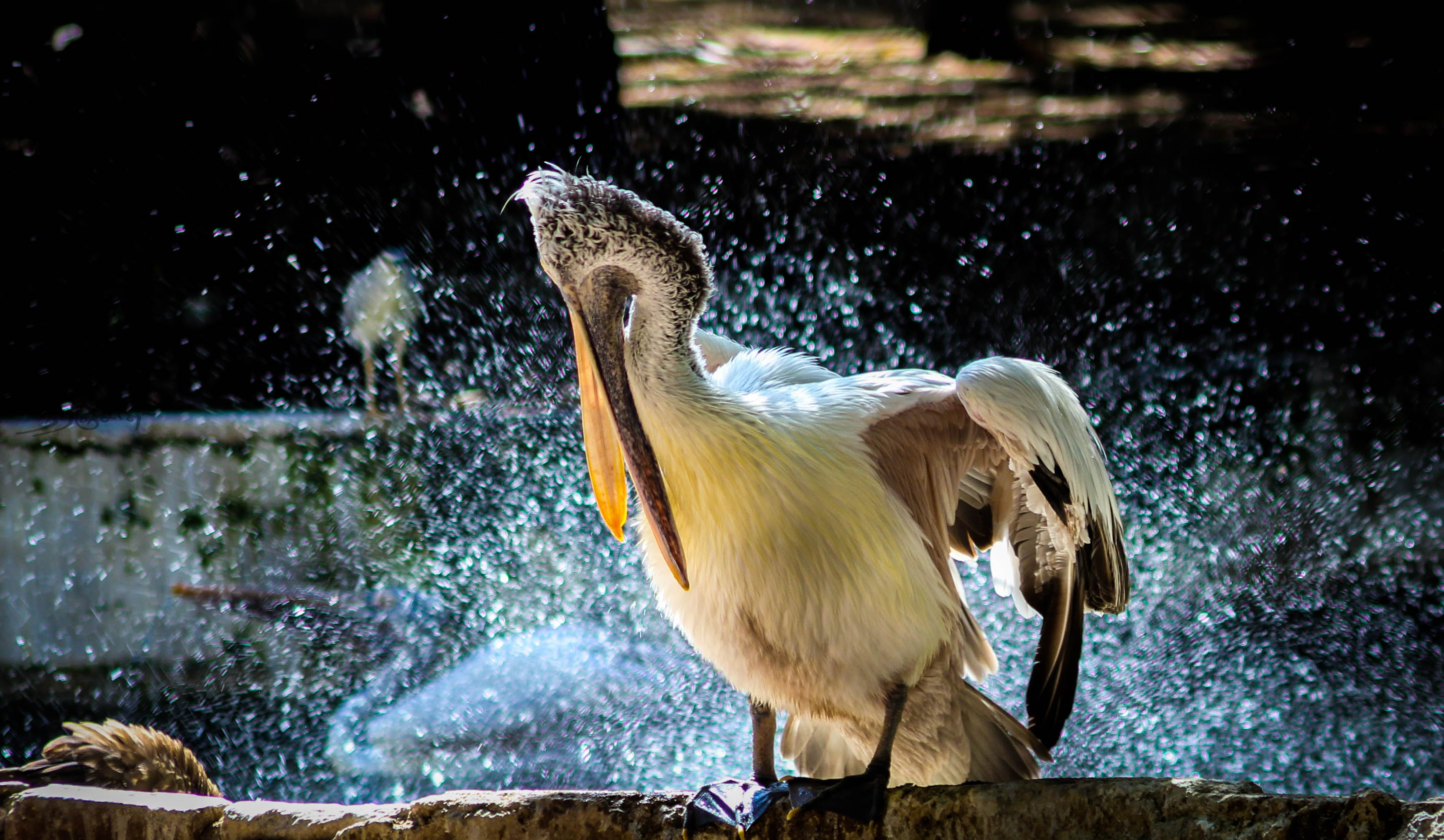 White Pelican In Shallow Photo
