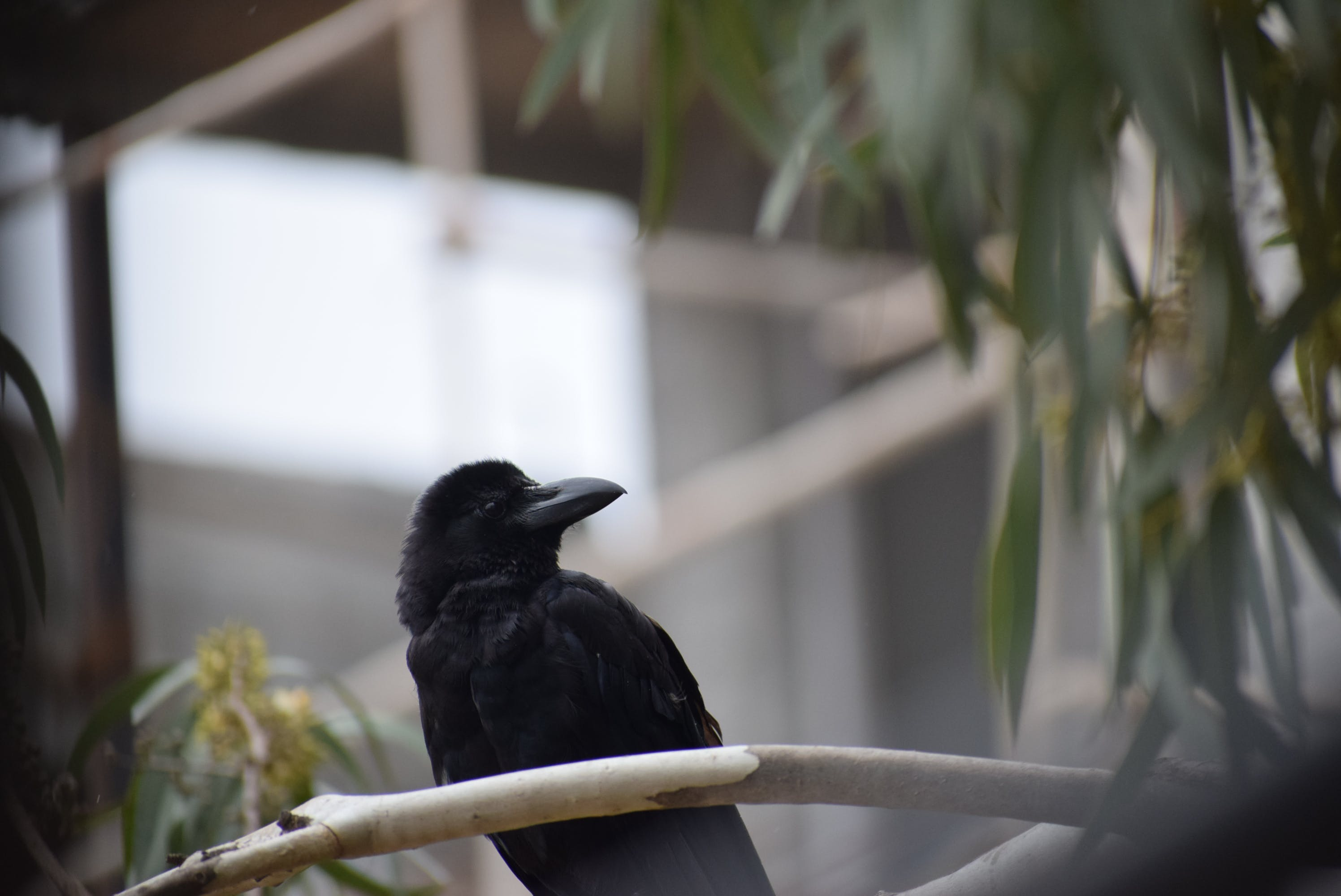 Close-Up Photo of Black Crow