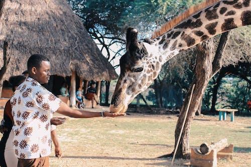 Foto stok gratis Afrika, alam, dewasa, jerapah
