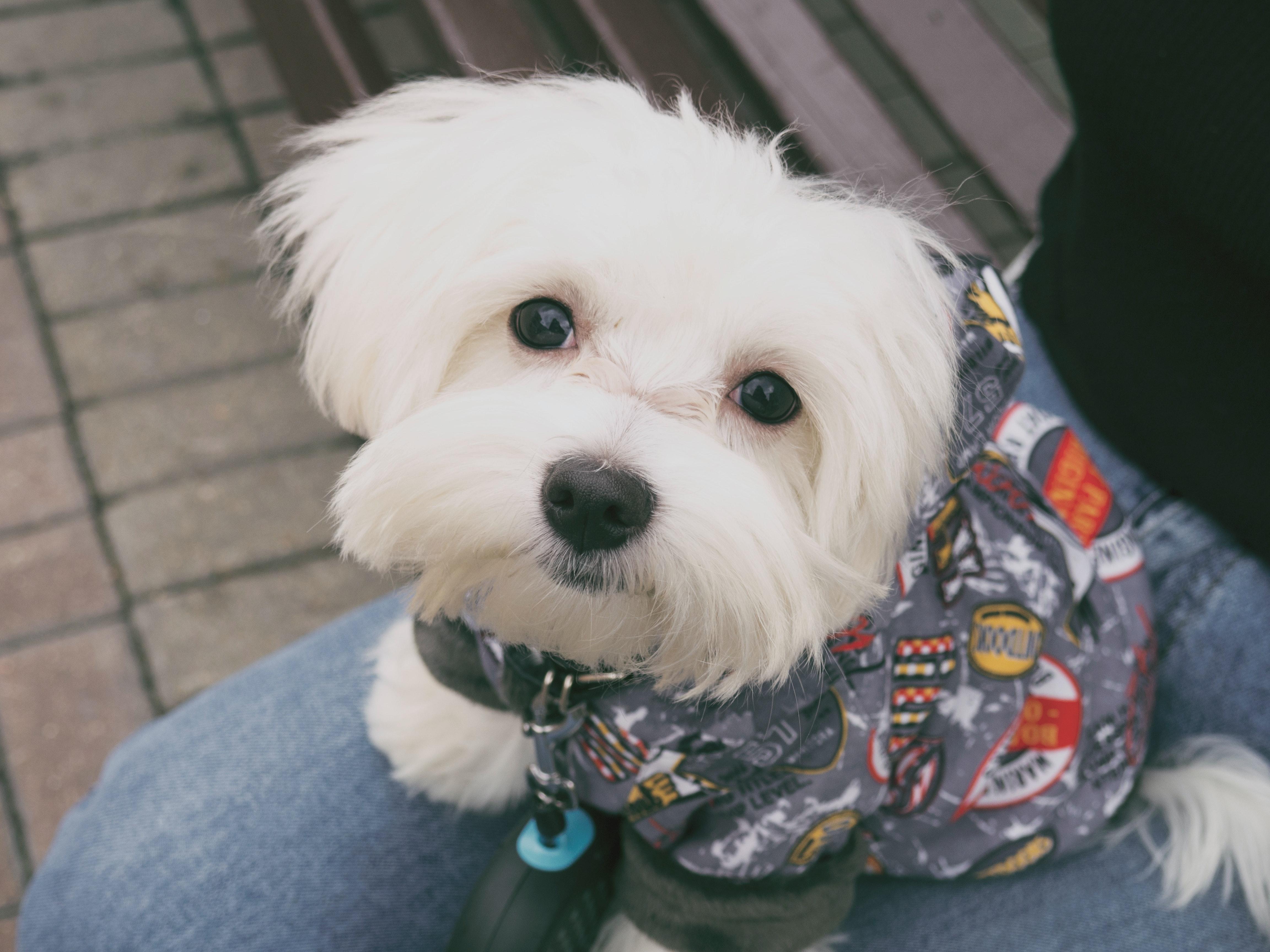 Foto Stok Gratis Tentang Anak Anjing Anjing Anjing Maltese
