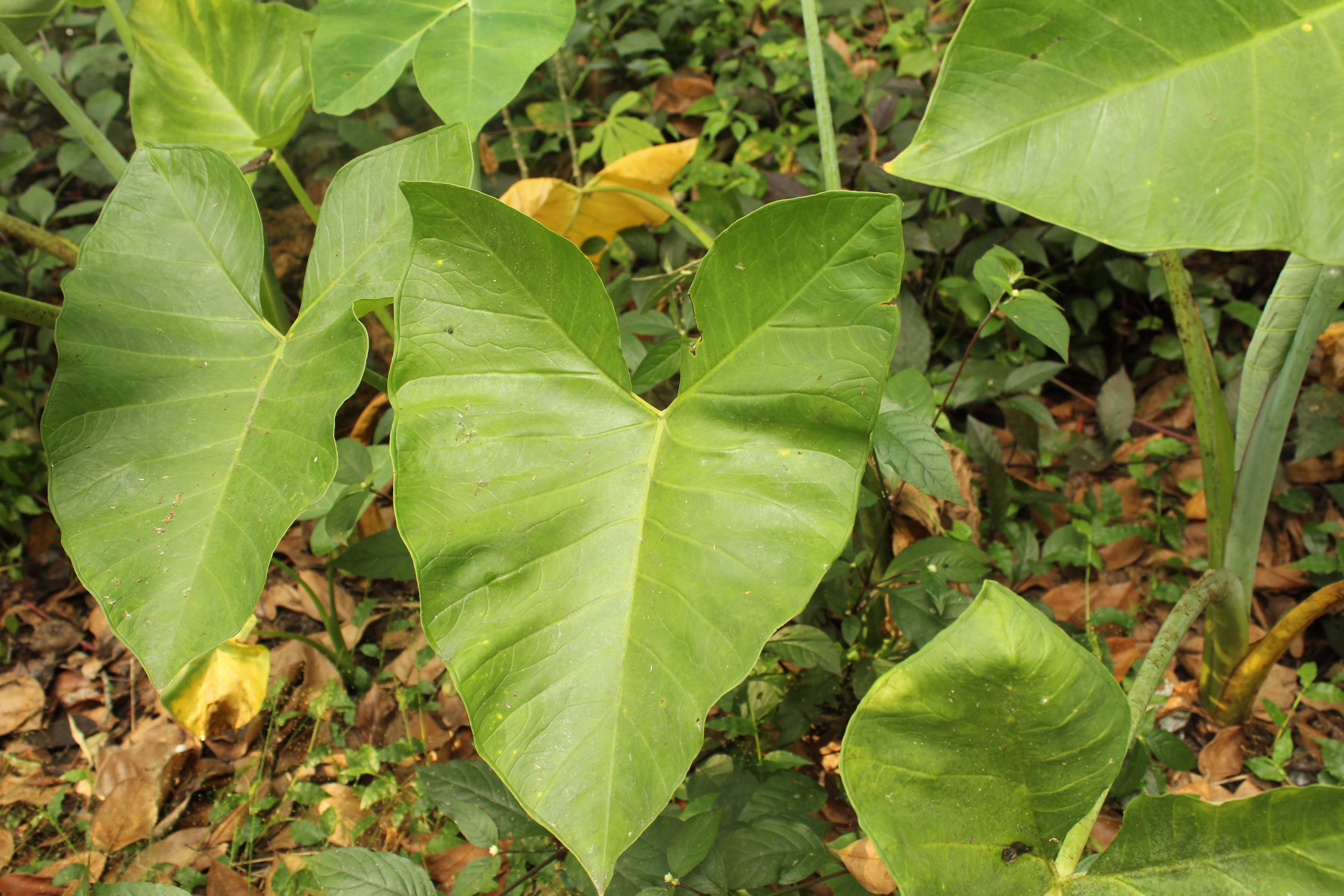 Free stock photo of Big leaf, green leaves, green park, kitchen garden