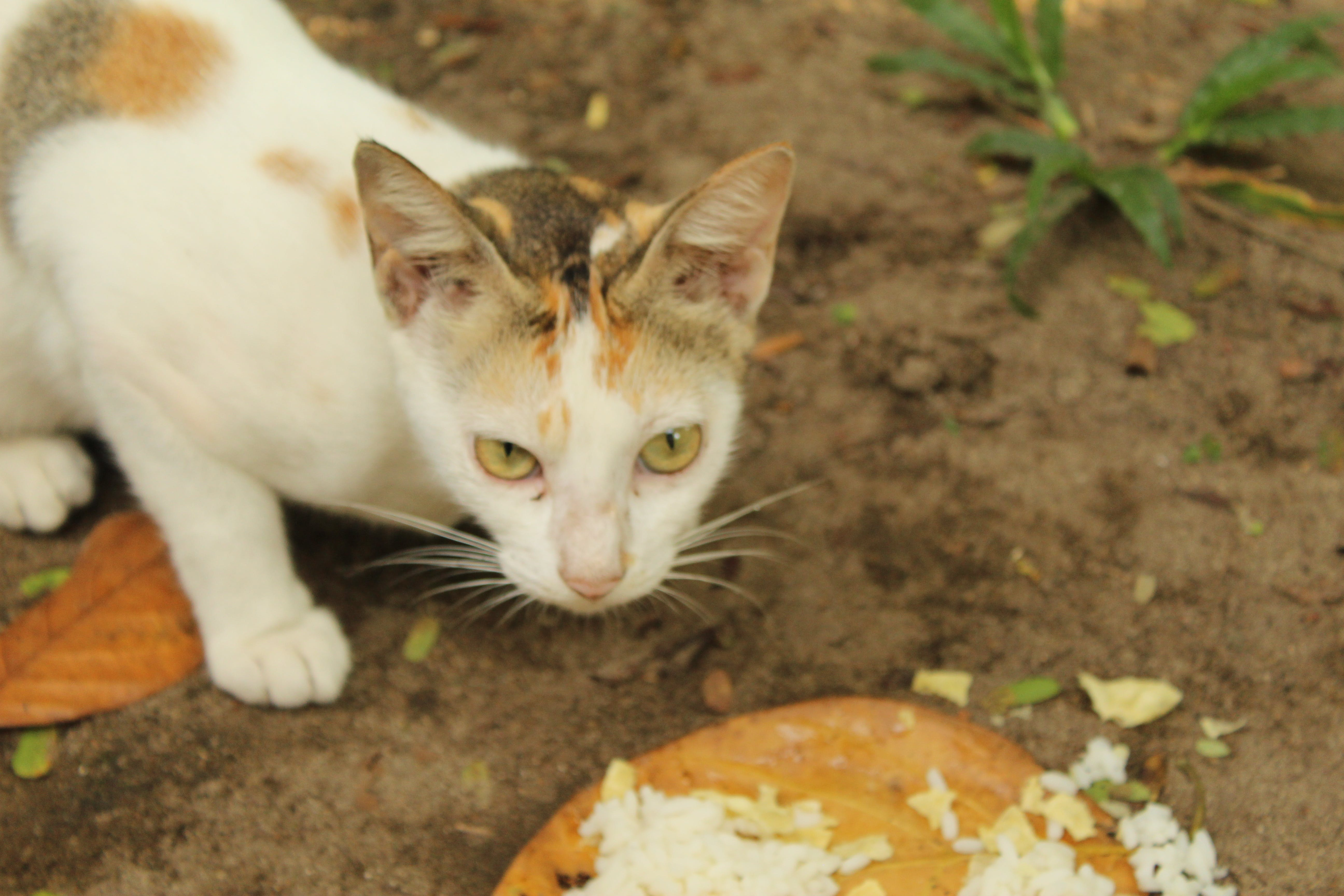 Free stock photo of cat, cat eye, cat face, eating cat