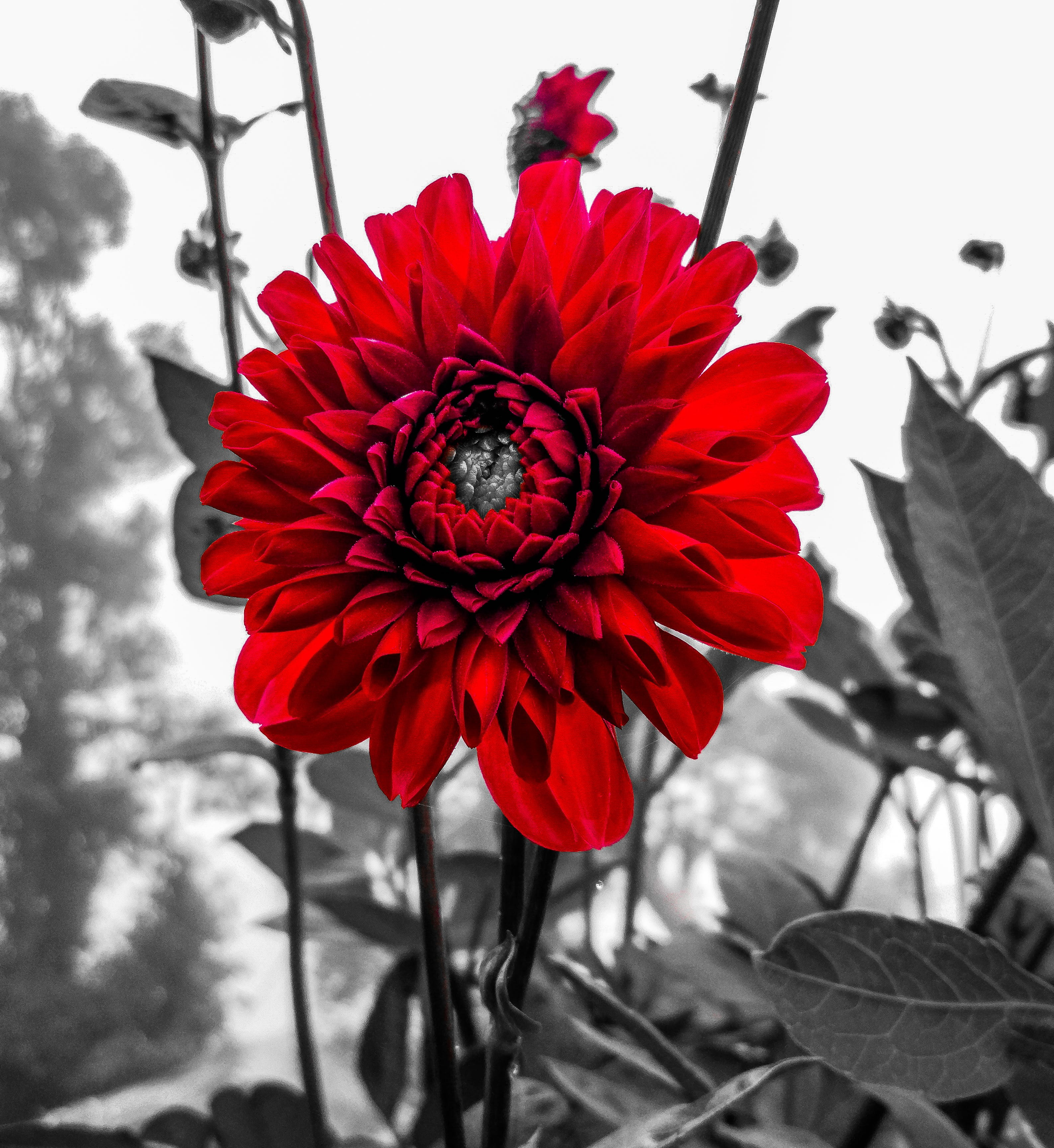 Free stock photo of beautiful flowers, red