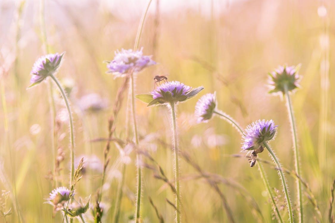 bodliak, divé kvety, flóra