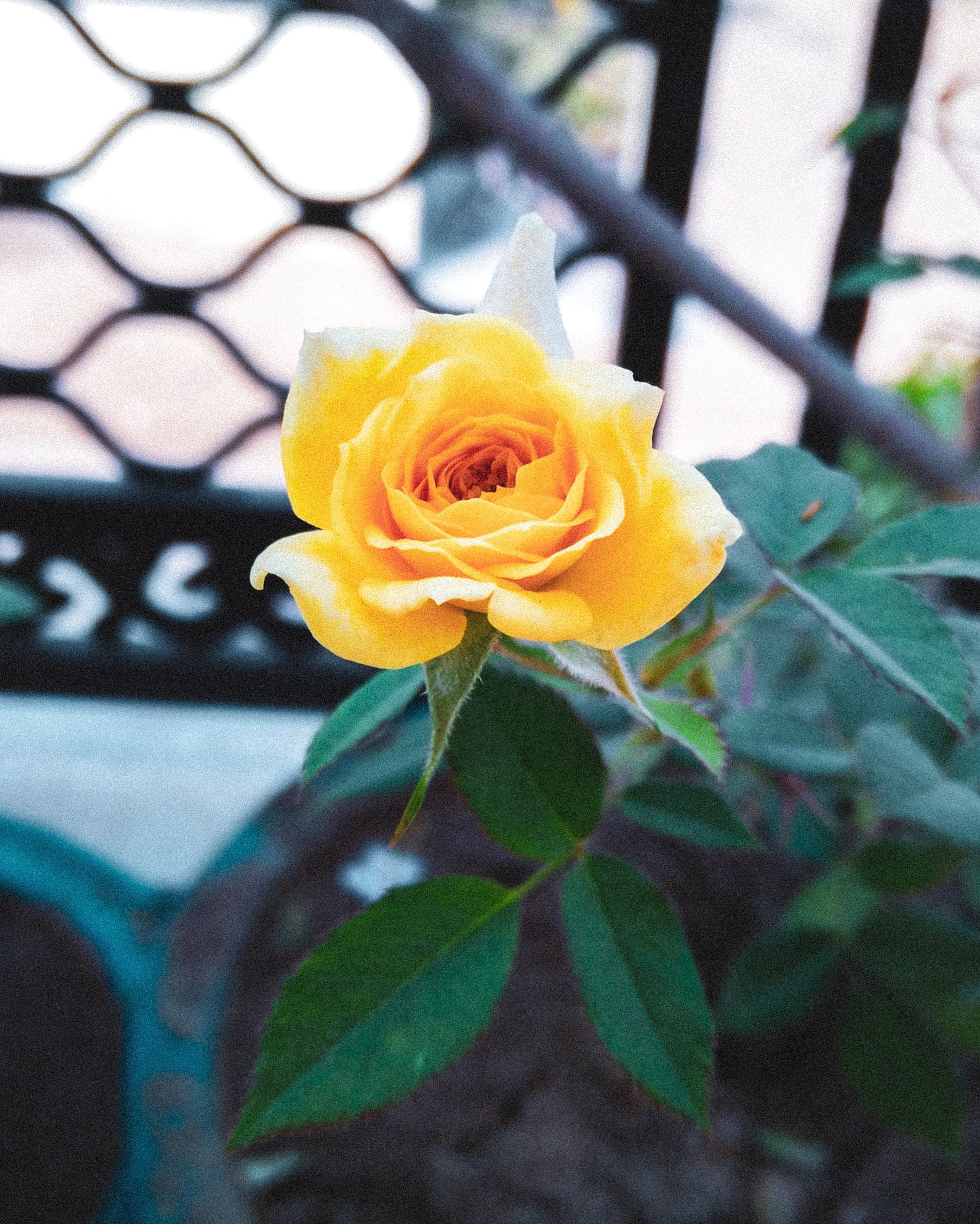 Free stock photo of flower, garden, garden flower, golden rose