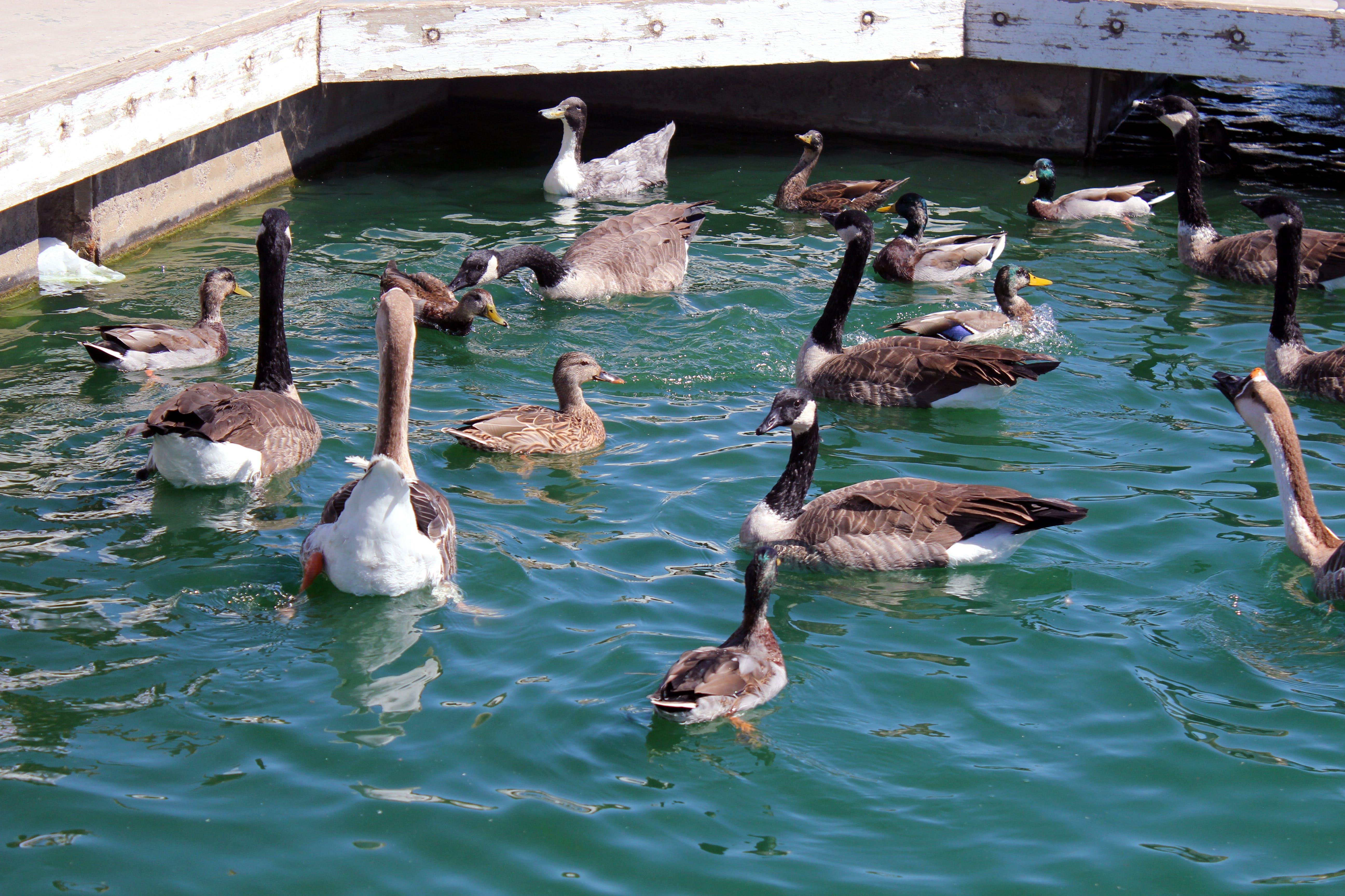 of ducks, pond