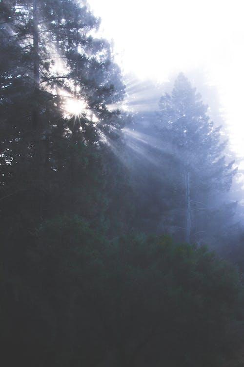 dagslys, farge, furutrær