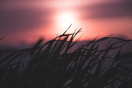 Silhouette Of Grass During Dawn