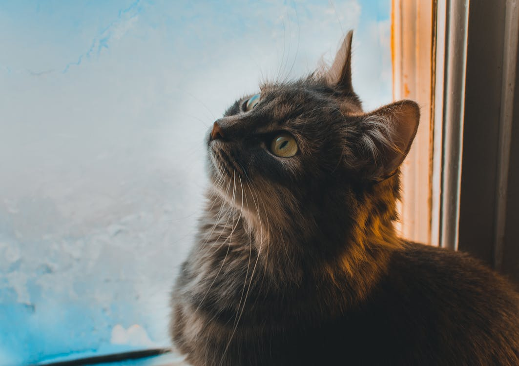 Close-up Photo of Cat Beside a Window Looking Up