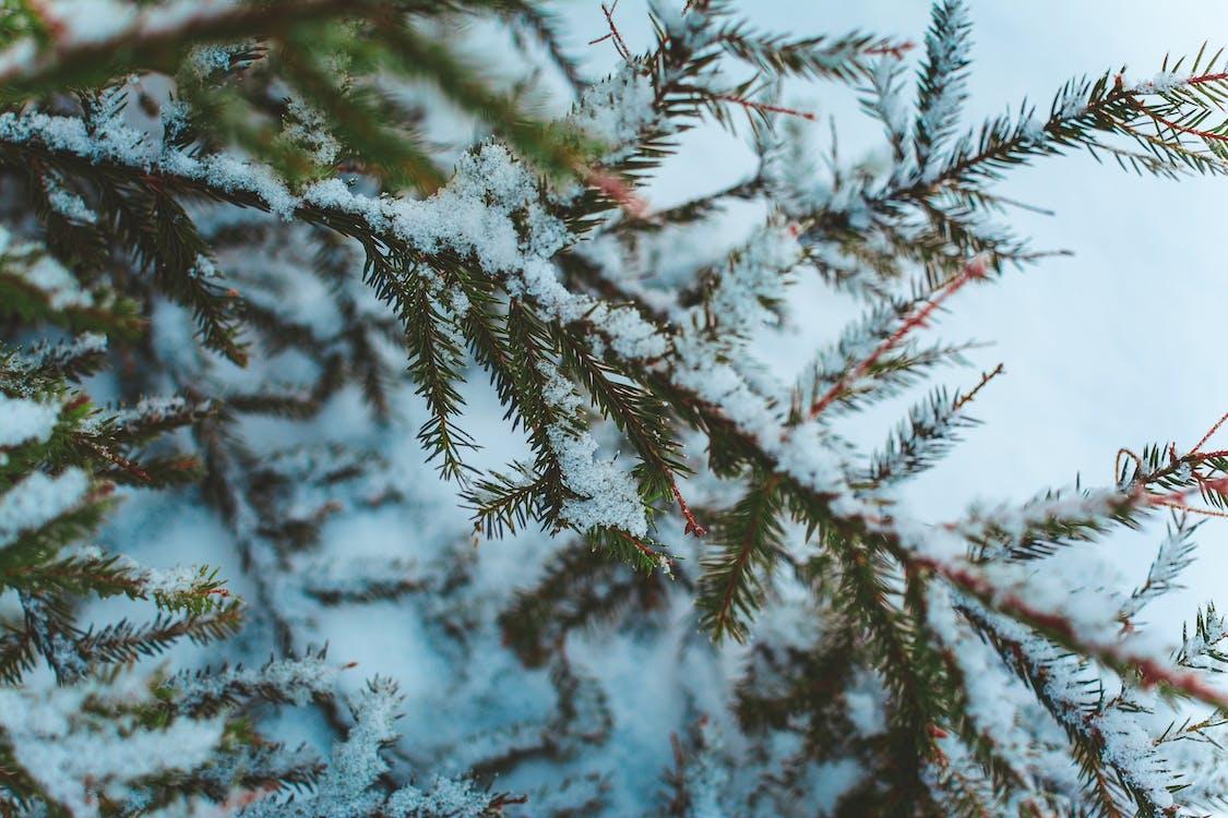 冬季, 冷杉, 分公司