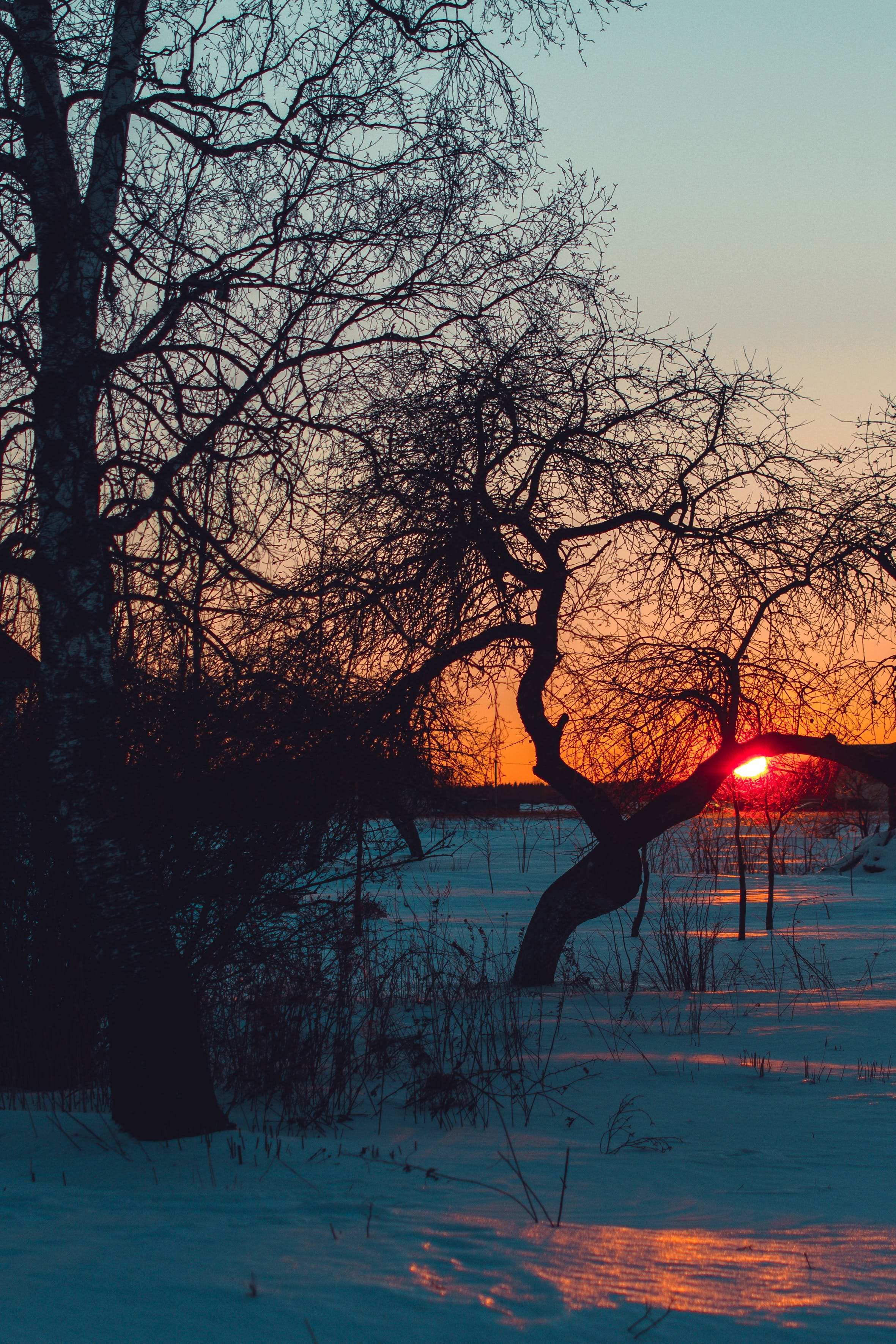 Trees on Snowy Field at Sunset