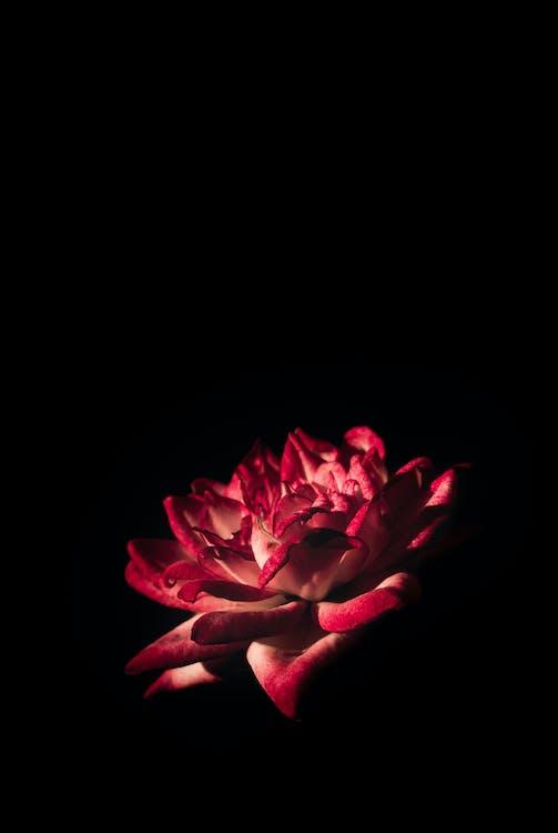 Wallpaper Background Hitam HD - Mawar Merah