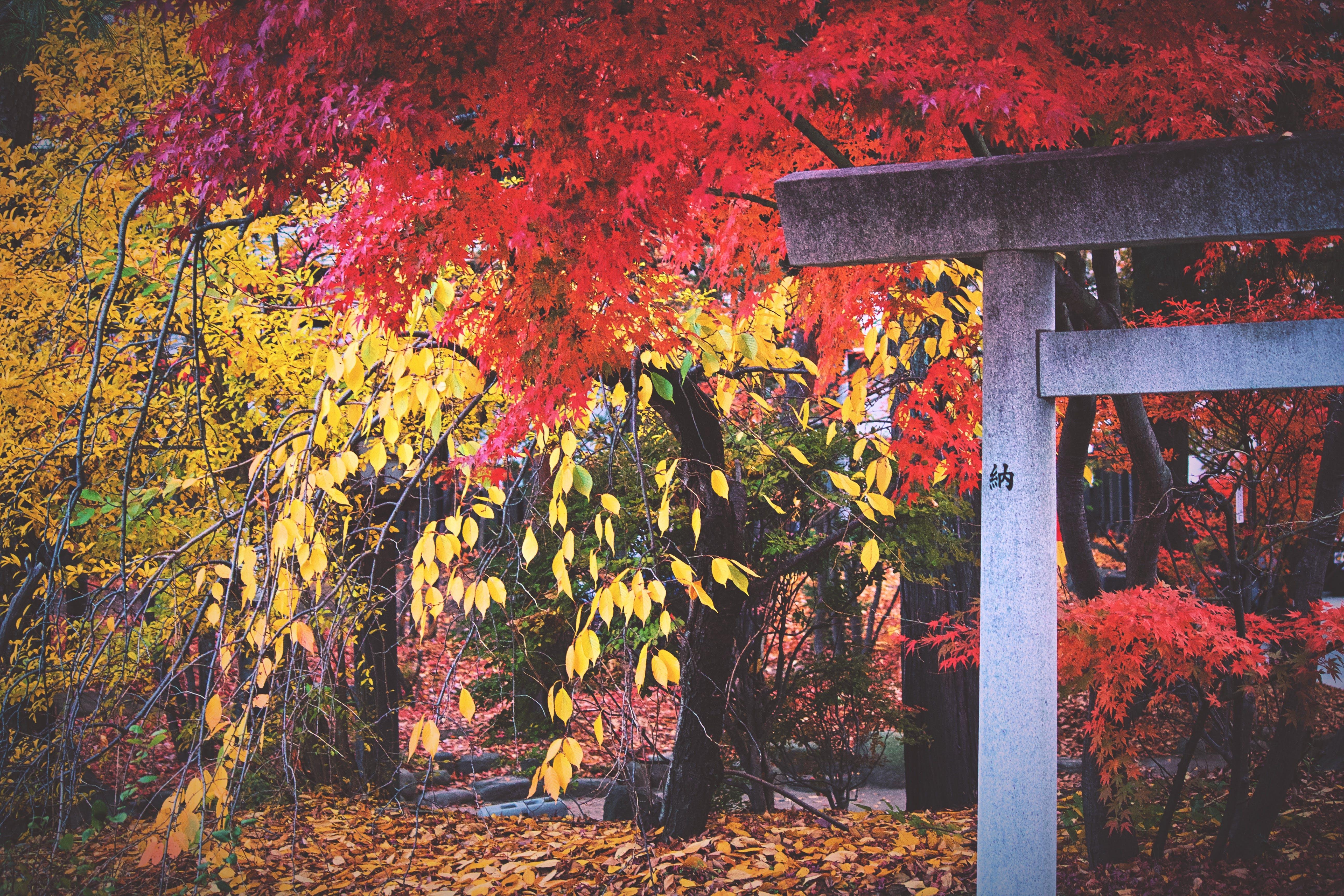 Free stock photo of #japan #autum #temple #trees