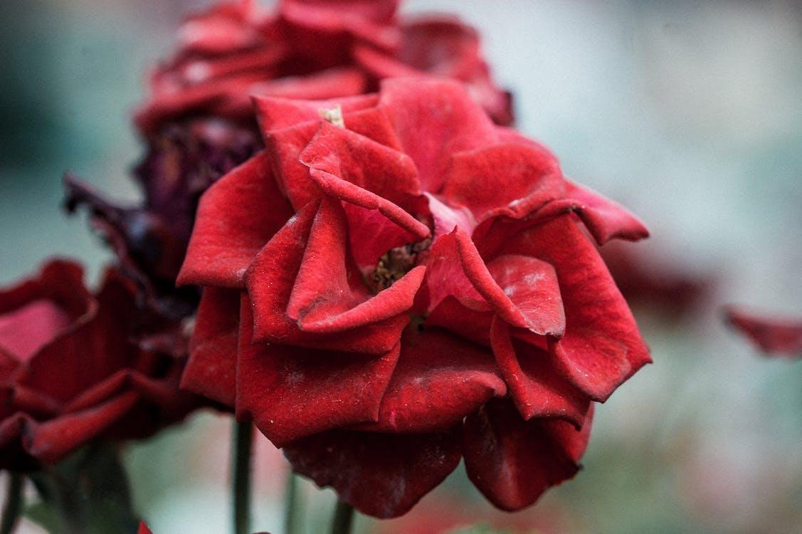 bunga, kilang, merah
