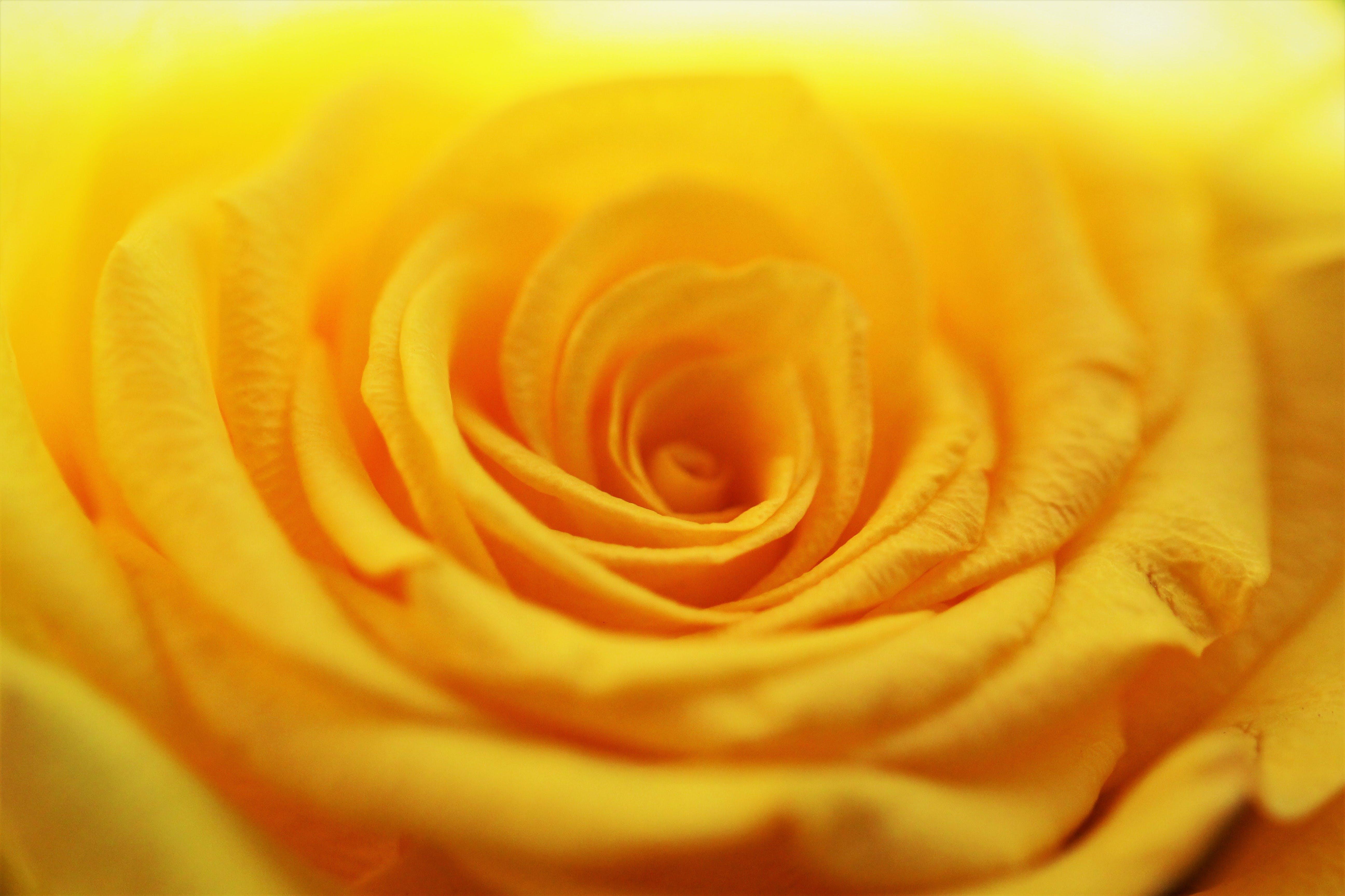 Kostenloses Stock Foto zu blume, farbmischung, gelb, gold-gelb