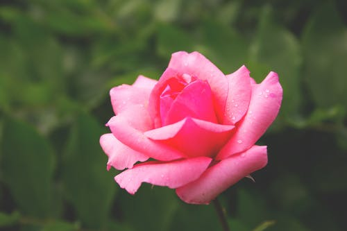 Selective Focus Photography of Pink Hybrid Tea Rose Flower in Bloom