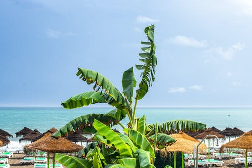 Banana Tree on Beach