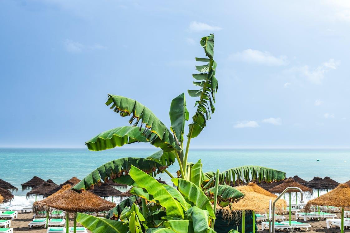 Banana Tree on Beach