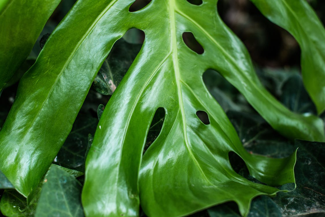 Fingerphilodendron, flora, grøn
