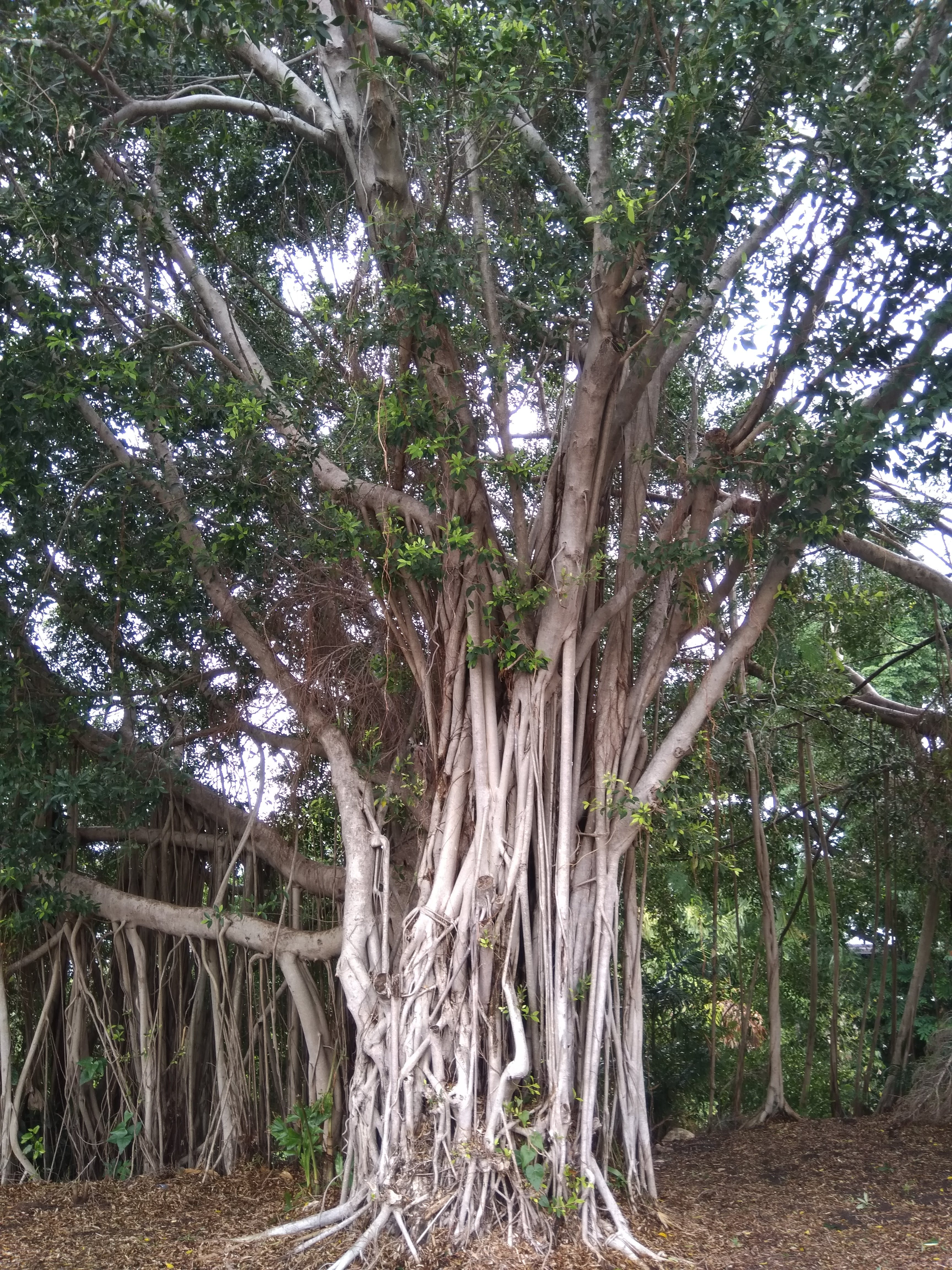 Free stock photo of fig tree, nature, roots