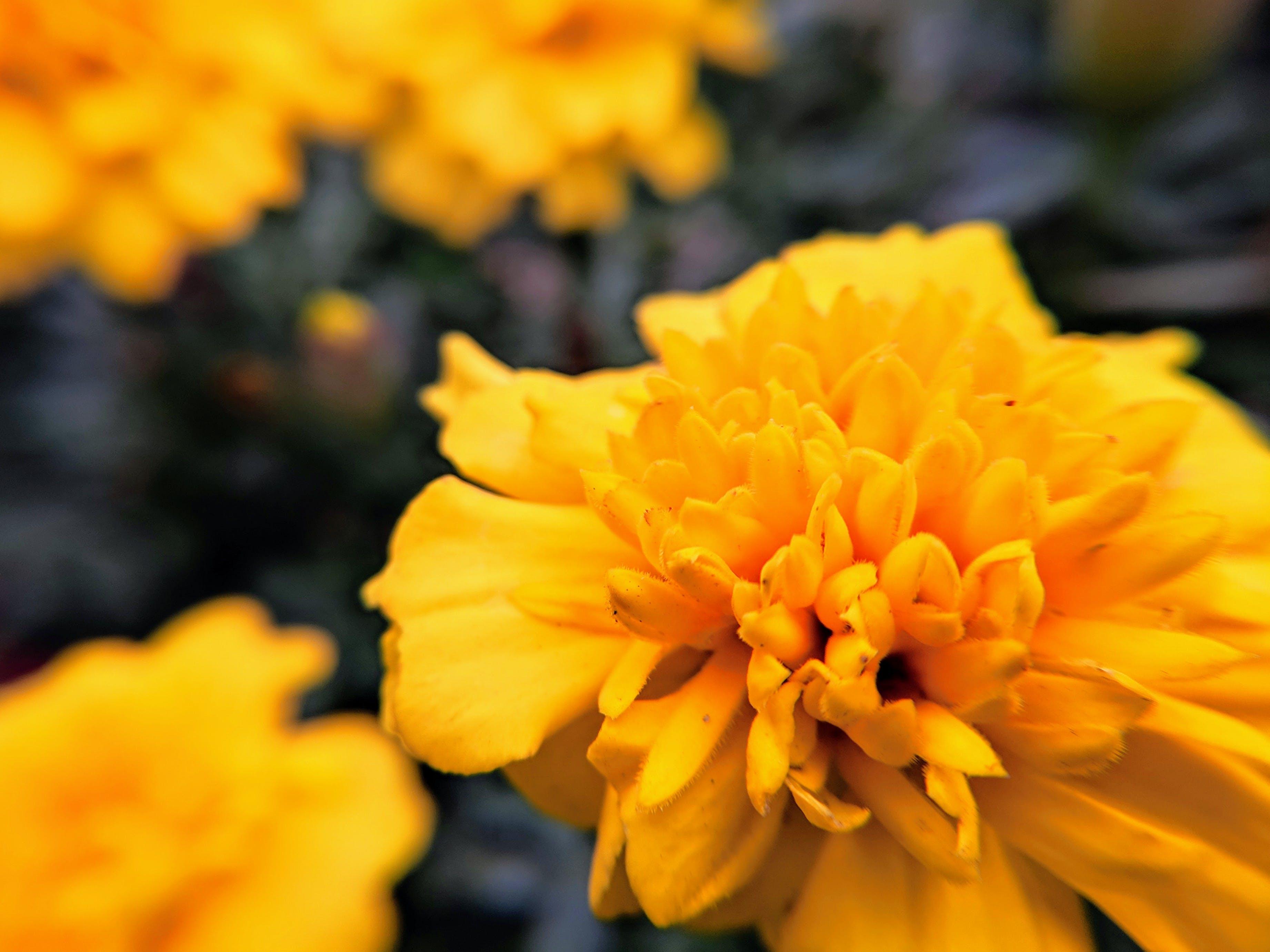 Free stock photo of beautiful, beautiful flowers, close up, close up flower