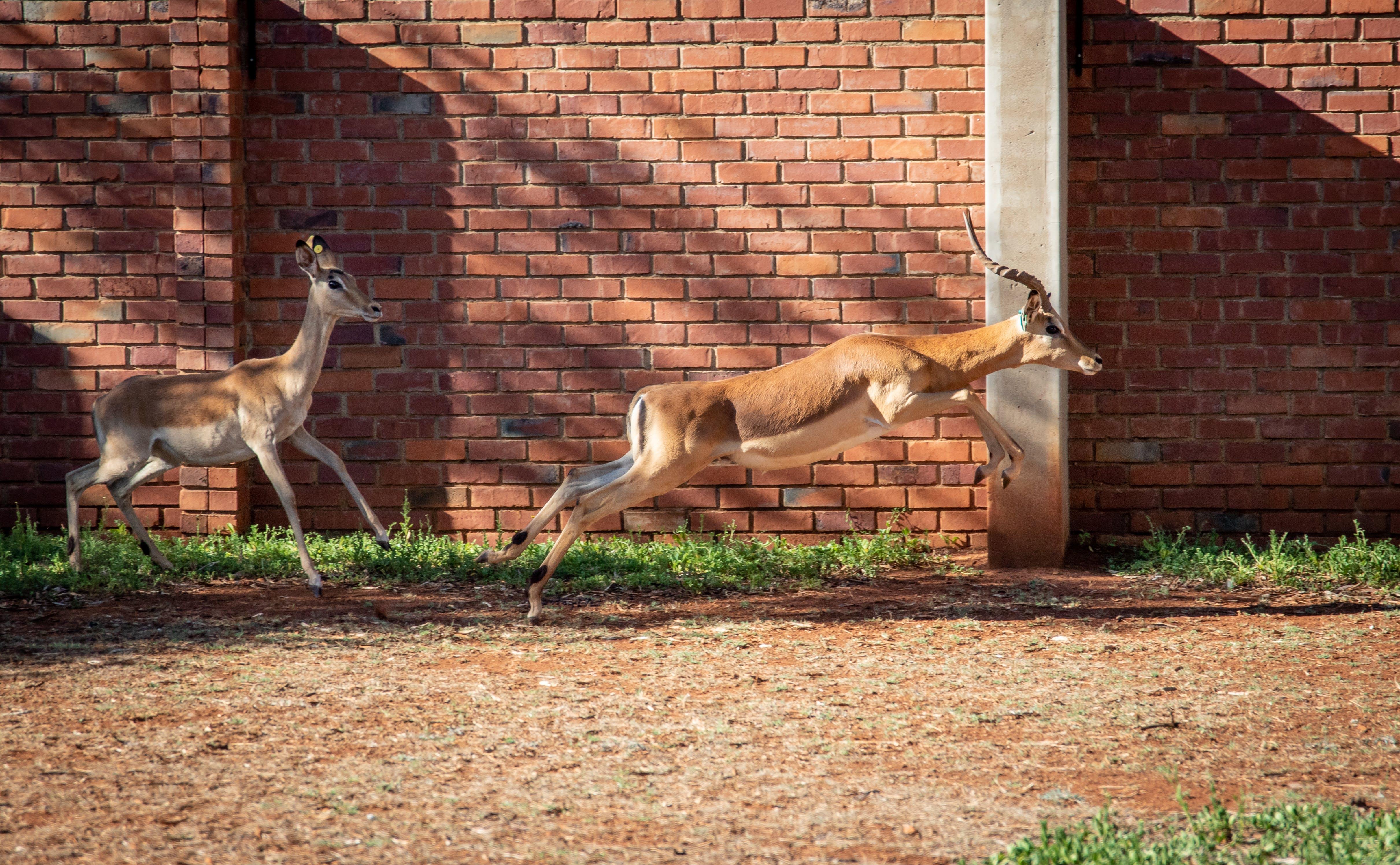 Kostenloses Stock Foto zu bock, gras, impala, natur