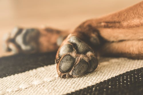 Free stock photo of animal, dog, domestic, paws