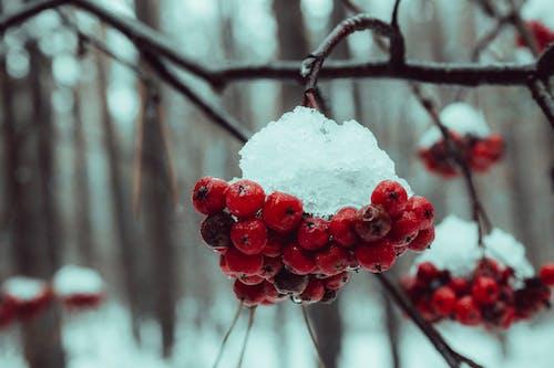 Fotos de stock gratuitas de árbol, baya, cubierto de nieve, Fruta