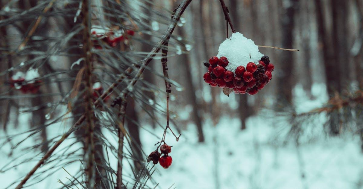 Красивое фото рябина в зимнем лесу