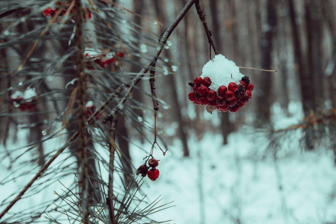 árbol, cubierto de nieve, escarcha