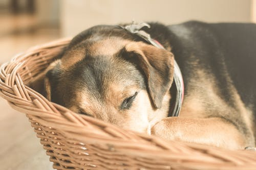 German Shepherd Puppy Sleeping on Brown Wicker Basket Close-up Photo