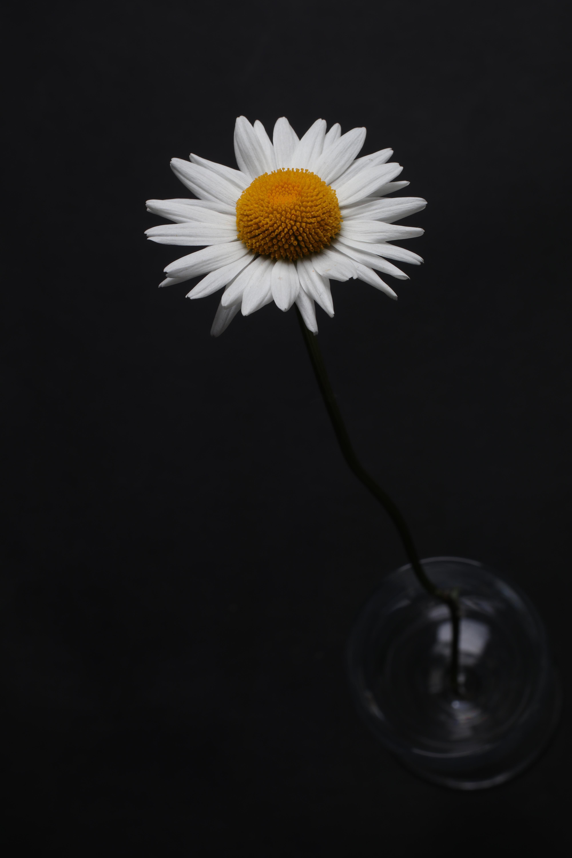 Foto Stok Gratis Tentang Bunga, Daisy Putih