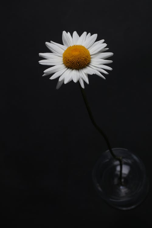 Free stock photo of flower, white daisy
