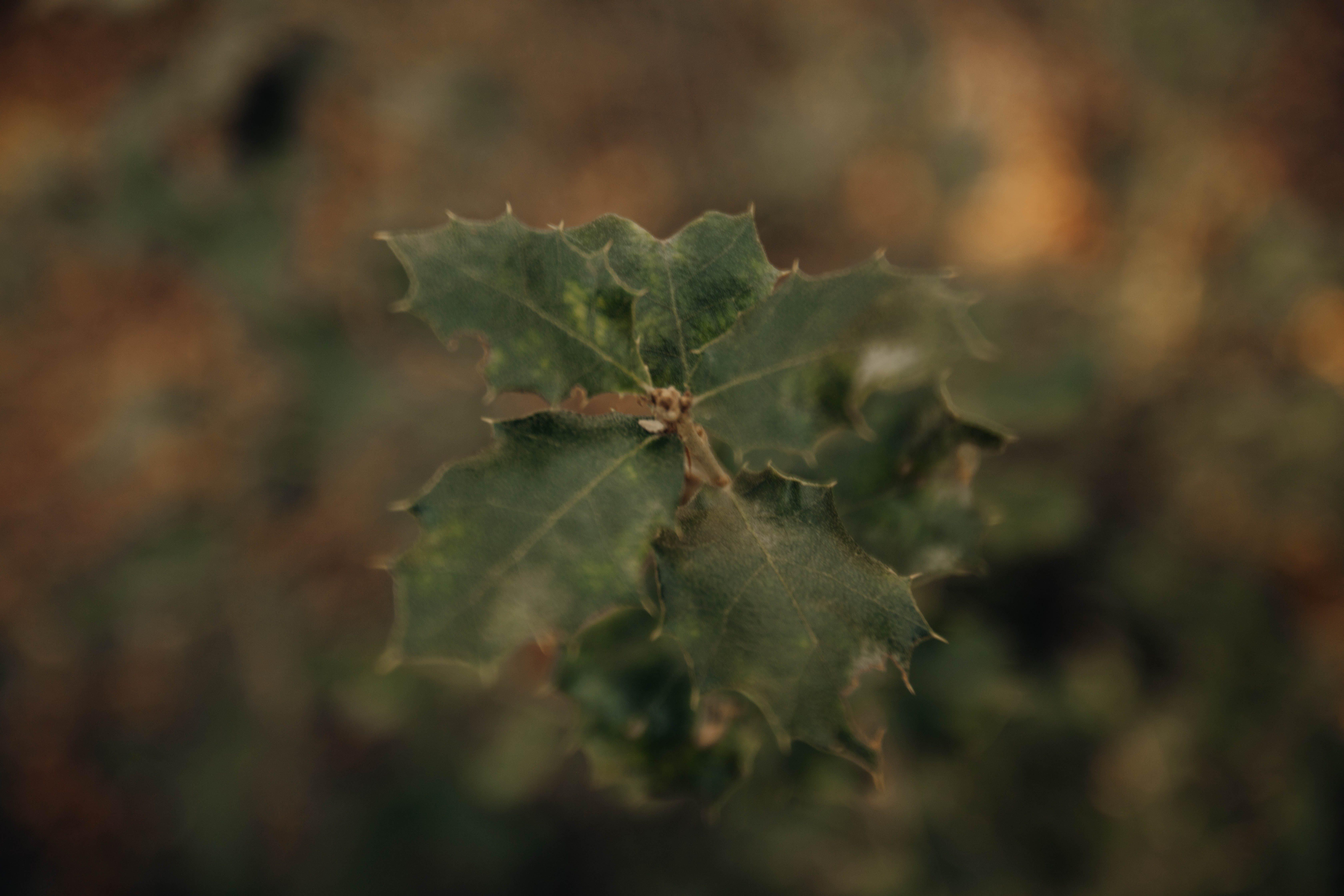 クリスマスの植物, 植物, 緑の無料の写真素材