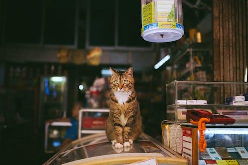 棕色虎斑貓
