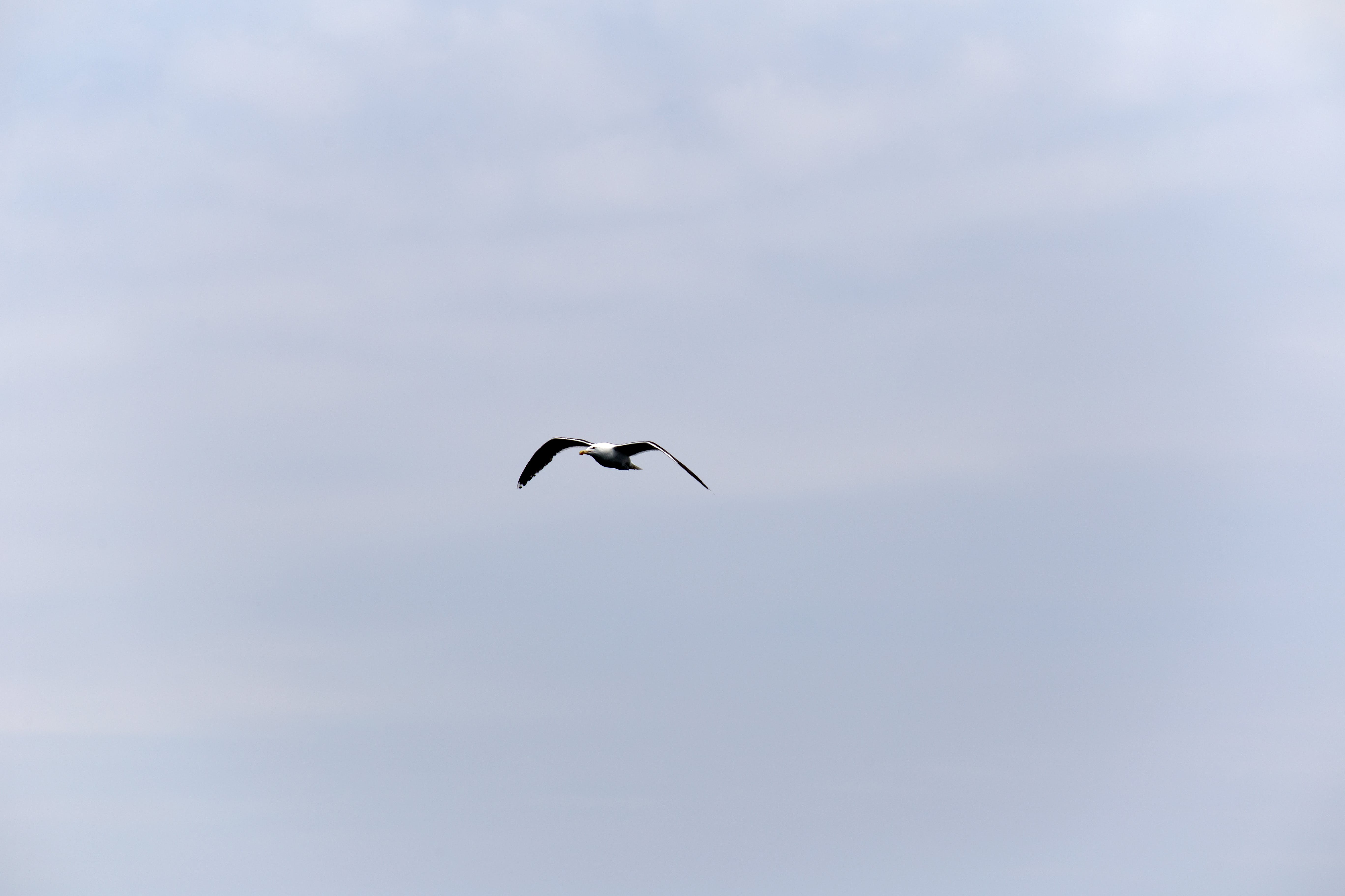 White Seagull Flying Under Gray Sky
