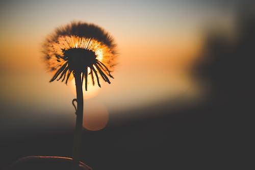 Immagine gratuita di alba, bocciolo, dente di leone, fiore